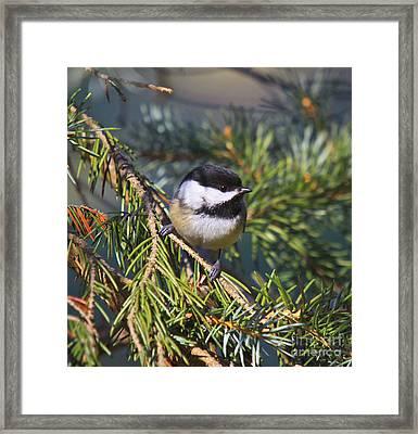 Chickadee-12 Framed Print by Robert Pearson