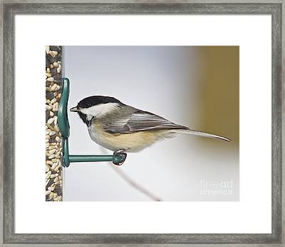Chickadee-4 Framed Print by Robert Pearson