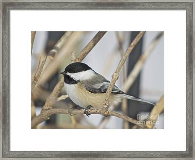 Chickadee-5 Framed Print by Robert Pearson