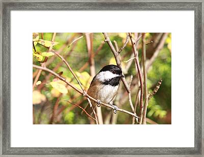 Chickadee Framed Print by Naman Imagery