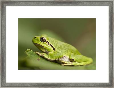 Chilling Tree Frog Framed Print by Roeselien Raimond