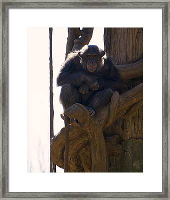 Chimpanzee In A Tree Framed Print by Chris Flees