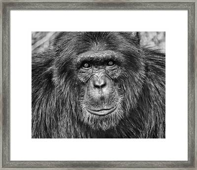 Chimpanzee Portrait 1 Framed Print by Richard Matthews