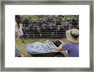 Chimpanzees Look On In Grief Framed Print by Monica Szczupider/National Geographic My Shot
