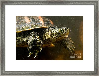 Chinese Pond Turtle Framed Print by B.G. Thomson