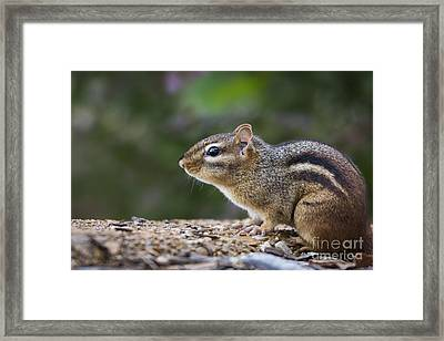 Chipmunk   Framed Print by Andrea Silies