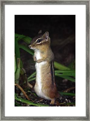 Chipmunk On Alert Framed Print by Karol Livote