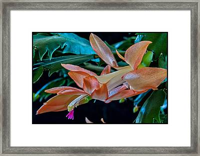 Christimas Cactus Framed Print by Dennis Adams