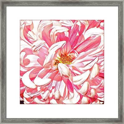 Chrysanthemum In Pink Framed Print by Shadia