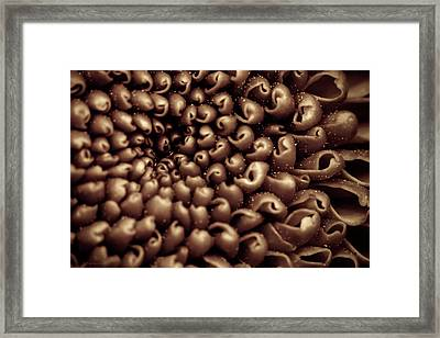 Chrysanthemum Sepia Framed Print by Wim Lanclus