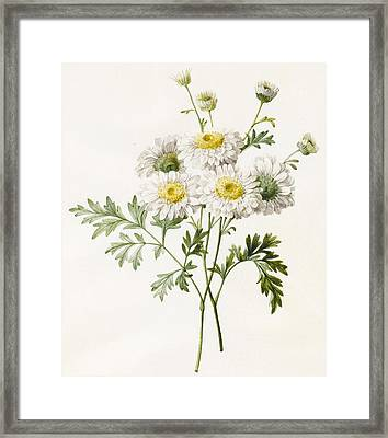 Chrysanthemums Framed Print by Louise D'Orleans