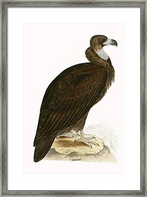 Cinereous Vulture Framed Print by English School