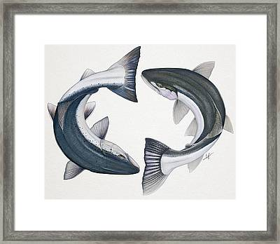 Circling Atlantic Salmon And Steelhead Framed Print by Nick Laferriere