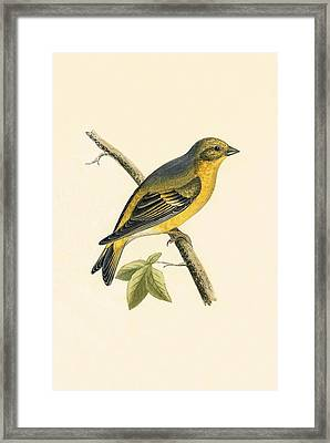 Citril Finch Framed Print by English School
