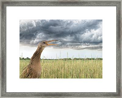 Clapper Rail Calls Framed Print by Linda Murdock