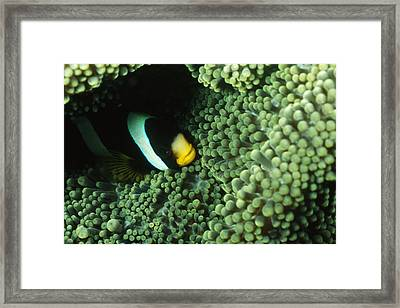 Clarks Anemonefish, Amphiprion Clarkii Framed Print by James Forte