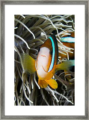 Clarks Anemonefish Framed Print by Dave Fleetham - Printscapes