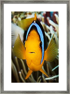 Clarks Anemonefish Face Framed Print by Dave Fleetham - Printscapes