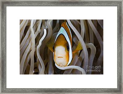 Clarks Anemonefish Framed Print by Reinhard Dirscherl