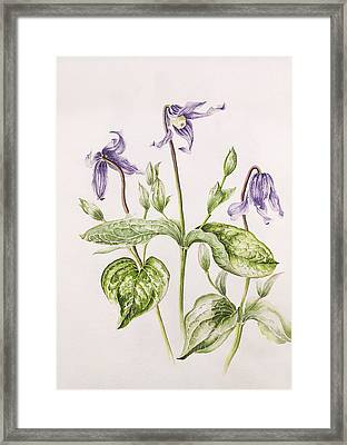 Clematis Integrifolia Framed Print by Alison Cooper