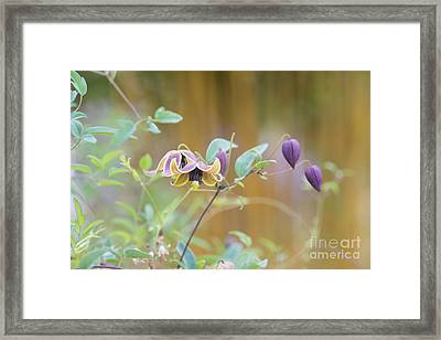 Clematis My Angel  Framed Print by Tim Gainey