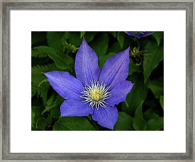 Clematis Framed Print by Sandy Keeton