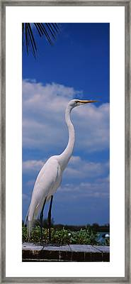 Close-up Of A Great Egret Ardea Alba Framed Print by Panoramic Images