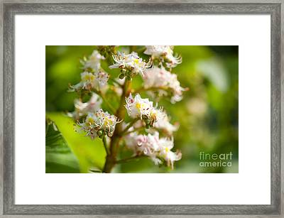 Close-up Of Blooming Aesculus On Green  Framed Print by Arletta Cwalina