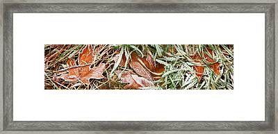 Close-up Of Maple Leaves Covered Framed Print by Panoramic Images