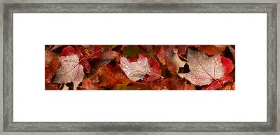 Close-up Of Raindrops On Maple Leaves Framed Print by Panoramic Images