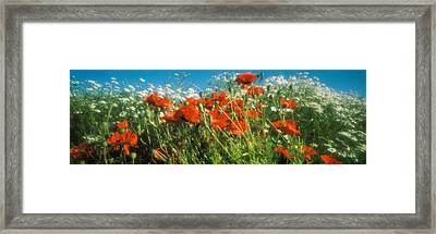 Close-up Of Wildflowers And Poppies Framed Print by Panoramic Images