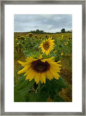 Close View Of A Sunflower At The Edge Framed Print by Todd Gipstein