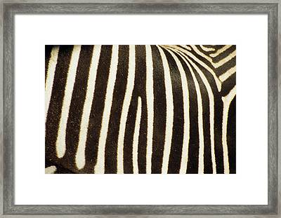 Close View Of A Zebras Stripes Framed Print by Stacy Gold