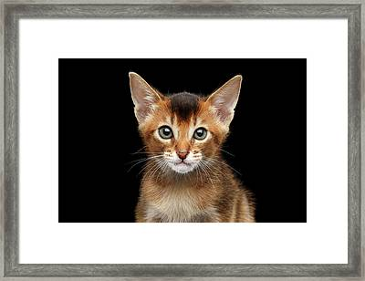 Closeup Abyssinian Kitty Curious Looking In Camera, Isolated Black Background Framed Print by Sergey Taran