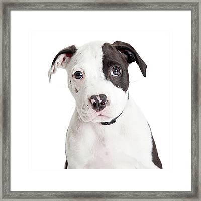 Closeup Cute Pit Bull Puppy Framed Print by Susan Schmitz