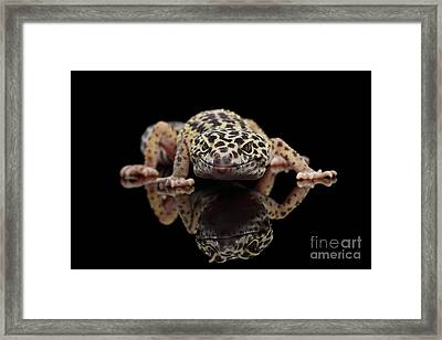 Closeup Leopard Gecko Eublepharis Macularius Isolated On Black Background, Front View Framed Print by Sergey Taran