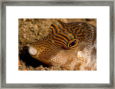 Closeup Of A Spotted Toby Canthigaster Framed Print by Tim Laman