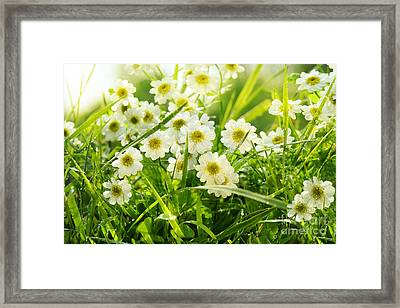 Closeup Of Daisies In Field Framed Print by Sandra Cunningham