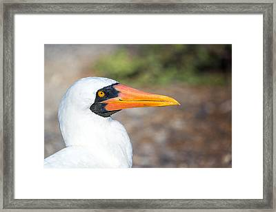 Closeup Of The Face Of A Nazca Booby Framed Print by Jess Kraft