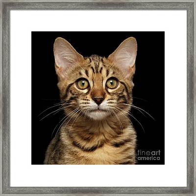 Closeup Portrait Of Bengal Kitty Isolated Black Background Framed Print by Sergey Taran