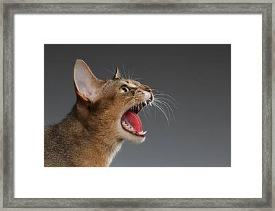 Closeup Portrait Of Hisses Abyssinian Cat Isolated On Black Back Framed Print by Sergey Taran
