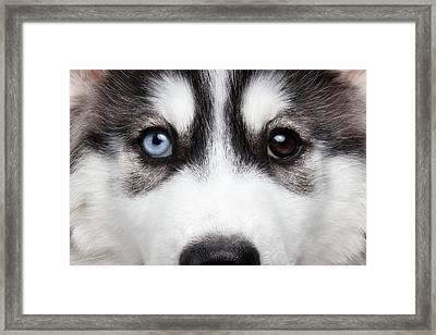 Closeup Siberian Husky Puppy Different Eyes Framed Print by Sergey Taran