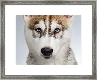 Closeup Siberian Husky Puppy With Blue Eyes On White  Framed Print by Sergey Taran