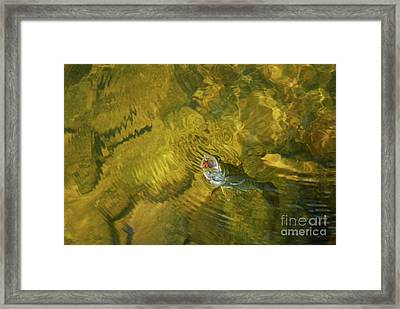 Clouser Smallmouth Framed Print by Randy Bodkins