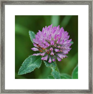 Clover In Dew Framed Print by Michael Peychich