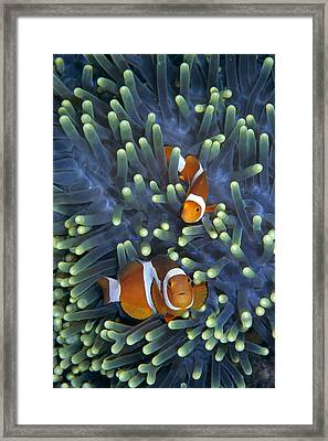 Clown Anemonefish Amphiprion Ocellaris Framed Print by Hiroya Minakuchi