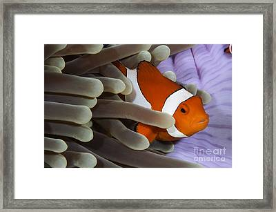Clown Anemonefish, Indonesia Framed Print by Todd Winner