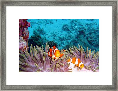 Clown Fishes Framed Print by Takau99