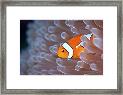 Clownfish In White Anemone Framed Print by Alastair Pollock Photography