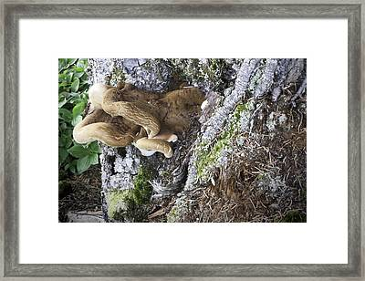 Cluster Of Fungi 2 Framed Print by Phyllis Taylor